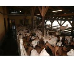 Excellent Quality  size milking goats For Sale.