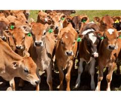 DAIRY and BEEF CATTLE for Sale