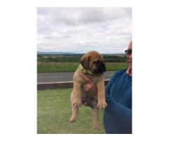 Beautiful Bullmastiff PUPPIES