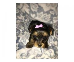 cute male and female yorkie puppies ready
