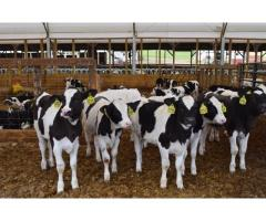 Dairy calves for sale