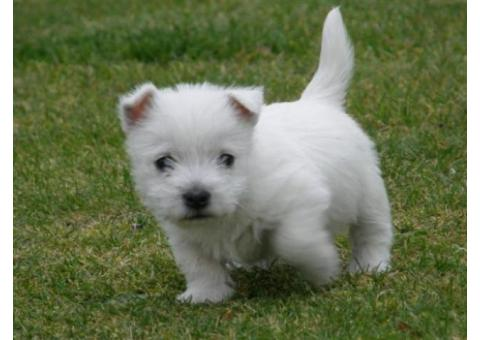 West Highland White Terrier Puppies for sale.