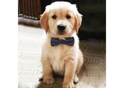 English Cream Golden Retriever Pups (216) 930-7599